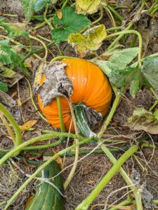 Here, it is easy to see that the foliage on the vines has begun to wither and turn brown – a sign the pumpkins are ready to harvest.
