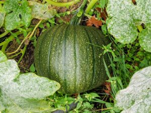 This pumpkin is smooth with flat ridges, dark green skin, and bright orange flesh.
