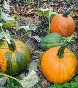The name pumpkin comes from the Greek word 'pepon' which means large melon. The pumpkin is a cucurbit, a member of the Curcurbitaceae family, which also includes squash, cucumbers, watermelon and cantaloupes. There are so many different varieties.