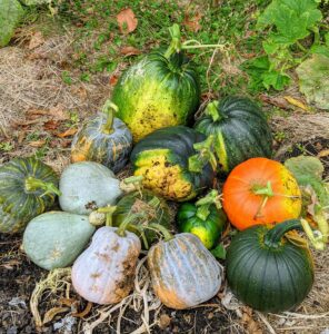 Pumpkin seeds should be planted between the last week of May and the middle of June. They take between 90 and 120 days to grow. Their seeds can be saved to grow new pumpkins the next year.