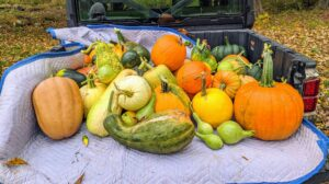 I am always trying to grow different and unusual specimens along with the more traditional varieties. We grow some pumpkins and squash from heirloom seeds. Heirlooms are old-time varieties, open-pollinated instead of hybrid, and saved and handed down through multiple generations of families.