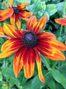 Rudbeckias are easy-to-grow perennials featuring golden, daisylike flowers with black or purple centers. It is a North American flowering plant in the sunflower family, native to Eastern and Central North America. It has alternate, mostly basal leaves 10 to 18 centimeters long, covered by coarse hair, with stout branching stems and daisy-like, composite flower heads appearing in late summer and early autumn.