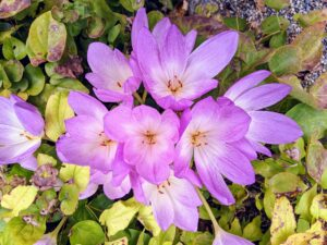 Colchicums are quite delicate but spread nicely in the autumn garden. Colchicum is a good pollen source for bees in fall when little else is available for them. And, because Colchicums are toxic, they provide a natural way to repel animals such as deer, mice, squirrels, and moles.