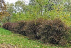 Here is my row of red Japanese barberry, Barberis thunbergii, leading to the run-in shed. Barberry shrubs make great additions to the landscape and are known for their rich color and year-round garden interest.