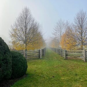 This is the newer Linden Allee, which extends from the old corn crib to my vegetable garden – it's very hard to see down the allee through the fog, but on a clear day, the view is gorgeous.