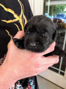 Here is Karen and John's son, Craig, holding one of the puppies. As you can see, it has just started to open its eyes. Puppies are born with their eyes closed to keep them protected from dust, dirt, and injuries and to allow the eyes to continue to grow underneath the eyelids. Puppies' eyes begin to open at about two to three weeks and continue to develop once they have opened. The puppy here was exactly two weeks old.