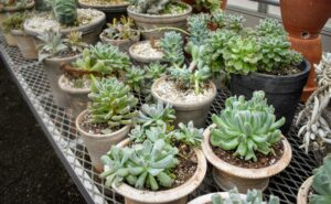 Many of my smaller potted succulents are stored in another area of my large greenhouse where they can get lots of light. Most varieties need at least half a day to a full day of sunlight. Succulents are best planted in clay or terra cotta pots with proper drainage holes because the vessels dry quickly, and prevent water from building up.