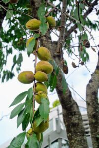 The hairy, green fruits are also oblong in shape. And the leaves of the almond tree are long - about three to five inches.