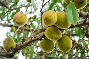 The almond fruit measures about two inches long, and is called a drupe. The outer covering, or exocarp, is a thick, grayish green coat, with a downy feel to it. This fruit is not edible.