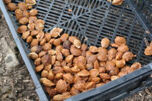 Shelling almonds refers to removing the hull to reveal the seed, which is what is eaten.