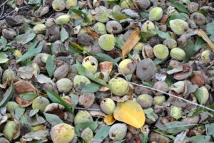 In earlier years these trees did not produce as many fruits, but now they produce lots and lots of almonds.