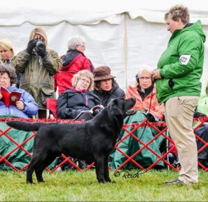 This is Heath, BISS AM GCH Can CH Paradocs Bellwether Heath. Heath has won multiple specialty shows (entries limited to a specific breed) and is an American Grand Champion and a Canadian Champion. As of October 23, 2020, Heath is the #21 Labrador Retriever in the United States. Heath is owned by Karen and lives in Indiana. He is pictured here with our friend, handler Julie Romeo.