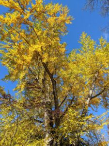 By the first week of November, the leaves on all the ginkgoes are bright golden yellow.