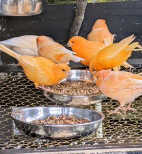Every morning, the birds are given a fresh buffet of seeds, leafy greens, and fruits. Seed blends are designed to support the birds' seasonal needs with a wide range of micronutrients for nesting, breeding, and molting seasons. The greens are always freshly picked from my gardens.