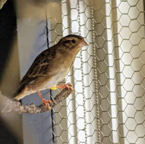 This is one of two Combassou finches. These small, friendly finches are native to South Africa. The finches get along very well with all the canaries. Combassou finches are members of the Whydah family of birds.