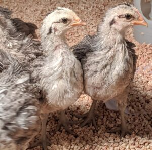 Phoenix chickens are very gentle, shy birds, but because they are raised around a lot of activity and people here at the farm, my chickens are always well-socialized and friendly.