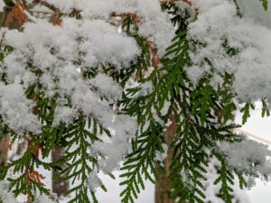 We're still weeks away from the official start of winter, but temperatures in Seal Harbor, Maine, dipped just enough for a snow storm. Cheryl took this photo of the snow on the branches of this cedar tree close to my gate.