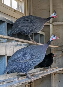 Inside another coop, two Guinea fowl perch on the bar outside the nesting boxes listening and watching all the goings-on.