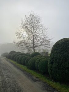 I took these photos while touring the farm early in the morning. Fog reduces visibility quite a bit. This is one side of my long Boxwood Allee. Dense fog is when visibility is at least one-quarter mile or lower. And, when fog mixes with air pollution, it's called smog.