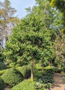 The ginkgo has a cone-like shape when young, and becomes irregularly rounded as it ages.