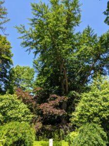 This is the sunken garden behind my Summer House. This parterre garden is very formal and focused on the giant 250-year old ginkgo tree in the rear. This photo was taken in late June when the tree was lush with green foliage. Growing beneath the ginkgo is a beautiful chocolate mimosa tree, a fast-growing, deciduous tree with a wide, umbrella-shaped canopy.