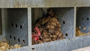 Here is a hen in one of the nesting boxes waiting to lay an egg. Each box is 12-inches wide by 13-inches tall – perfect for each hen to nest comfortably. Hens lay eggs throughout the year; the color of their shells varies by the chicken breed.