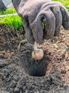 And one by one, each corm is carefully placed in a hole, with the pointed end faced up, or root end faced down. This is very important, so the plant grows properly. When purchasing bulbs and corms, always look for those that are plump and firm, and avoid those that are soft.