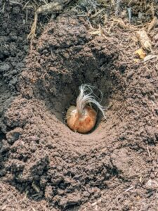Here is the saffron corm just at the top of the hole - see how it is faced up.