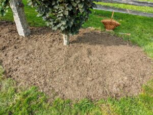Once all the corms are planted, the area is raked, so it looks neat and tidy. This is also a good time to check that every corm is in the ground – we don't want to miss a single one.