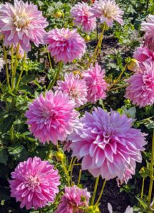My all-dahlia garden was planted in a large bed behind my greenhouse. We planted the garden in June and through the summer, we all watched its progression.