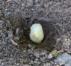 Once again, every bulb is positioned with the pointed side faced up and the roots faced down, and then covered with soil.