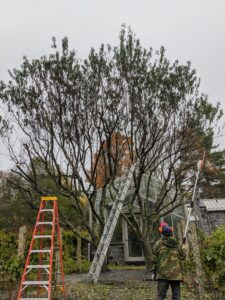 During the pruning process, Chhiring stops periodically to assess the shape of the tree and to see where he needs to prune next.
