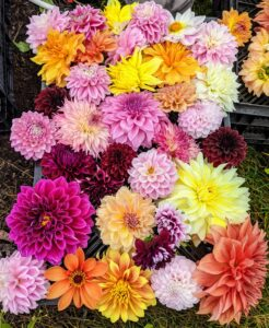 Remember all the gorgeous, colorful dahlias we had this year? Dahlias are among my favorite flowers. They begin to bloom with great profusion just as other plants pass their prime, and they last right up until the first frost.
