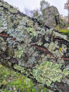 Almond trees have brown or gray bark. The branch of this tree also has lichens growing. Lichens are often found on tree trunks, branches and twigs as the bark provides a stable place to grow and get needed sunlight, rainwater and air.