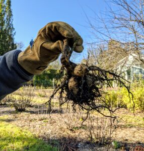 With one hand on the stem, the entire clump is pulled carefully from the ground.