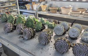 Not long ago, Ryan removed them from the planters, so they could be kept indoors for the cold season. Here they are on the Head House table ready to be potted up. Succulents are often grown as ornamental plants because of their striking shapes.
