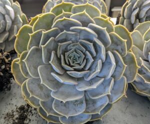 One type of succulent is echeveria. Echeveria is a large genus of flowering plants in the stonecrop family Crassulaceae, native to semi-desert areas of Central America, Mexico and northwestern South America.