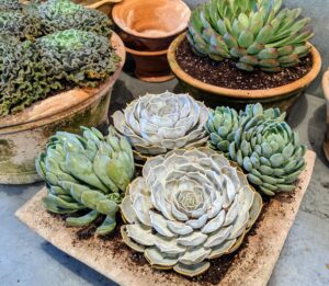 Succulents require very little water to survive – these will be watered about once a week.