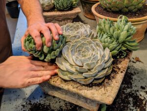 Succulents grow in so many different and interesting formations. I often bring succulents into my home when I entertain – guests love seeing and learning about the different varieties.