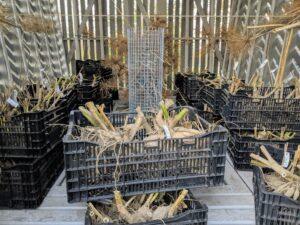 Before they are bagged and stored, the dahlia tubers must dry completely. All the crates of dahlia tubers are placed in the corn crib. All the tubers look similar, so it is crucial to keep them with their individual markers.