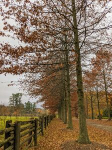 This is the Pin Oak Allee with my large orchard on the left. These trees still have many more leaves that need to fall.
