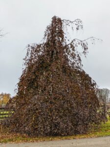 The weeping copper beech, Fagus sylvatica 'Pendula', is a cultivar of the deciduous European beech. I have several of these trees around the farm. It has sweeping pendulous branches and purple leaves. I love all the interesting forms.