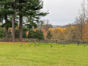 These wild geese can often be seen resting in large numbers in my paddocks. All the activity of my working farm doesn't bother them one bit.