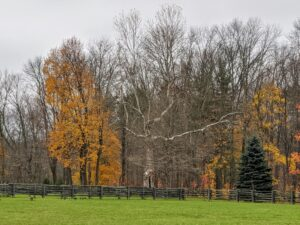 In the center is one of several giant sycamore trees - the symbol of my farm. Platanus occidentalis, also known as American planetree, western plane, occidental plane, buttonwood, and water beech, is a species of Platanus native to the eastern and central United States, the mountains of northeastern Mexico, extreme southern Ontario, and possibly extreme southern Quebec.