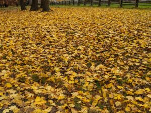 Leaf blowing is now in full swing. There are so many leaves to blow this time of year. It is very important to remove the leaves after they fall in order to maintain a healthy and attractive lawn and garden. A thick or matted layer of fallen leaves casts excessive shade over the ground below and can prevent adequate sun, nutrients, and water from reaching grass and other plantings.