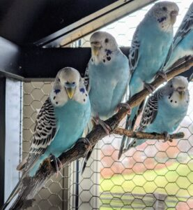 Parakeets prefer to be kept in pairs or small groups. I am sure this group will be very happy here at the farm.