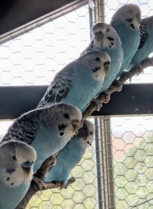 Parakeets who are harmonious and live together will bond and mate for life. They also love interacting with humans, playing games and chirping.