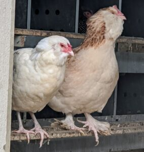 Chickens are not difficult to keep, but it does take time, commitment and a good understanding of animal husbandry to do it well. Before choosing to raise chickens, always check with local planning and zoning authorities to be sure chickens are allowed in your area.