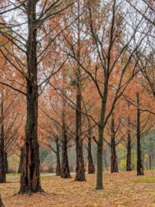 The Metasequoia, or dawn redwood, is a genus of fast-growing deciduous trees, one of three species of conifers known as redwoods. These are so pretty in fall. They have feathery, fine-textured needles that are opposite each other and approximately a half-inch long. Don't confuse them with the bald cypress needles, which grow alternately. These red and brown needles will soon fall for the season.