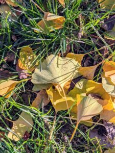 The ginkgo is such a fascinating deciduous tree. When did your ginkgo trees lose their leaves? Let me know in the comments section.